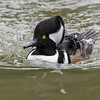 MALE HOODED MERGANSER