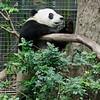 GIANT PANDA<br /> Yun Zi, a 2 year old juvenile male.