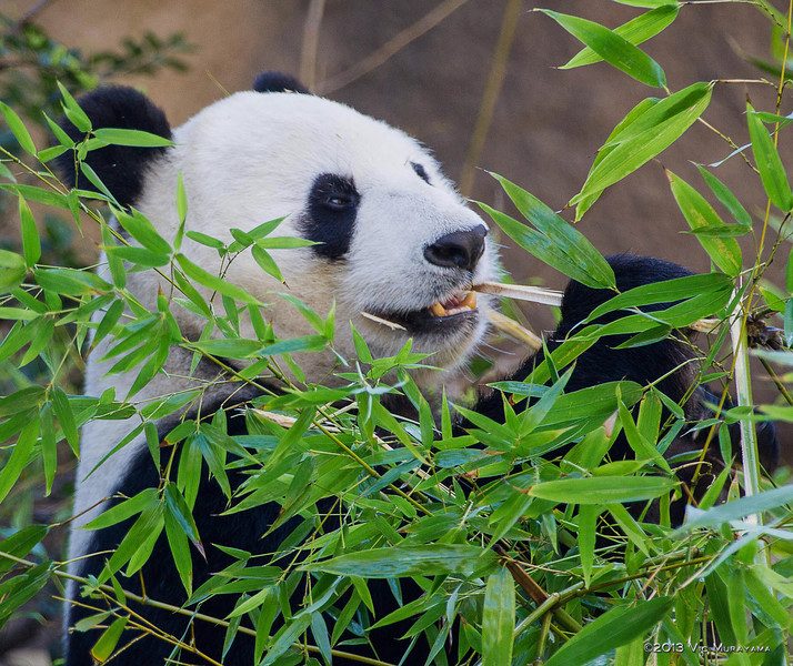 GIANT PANDA<br /> Female Bai Yun who has given birth to 6 cubs.