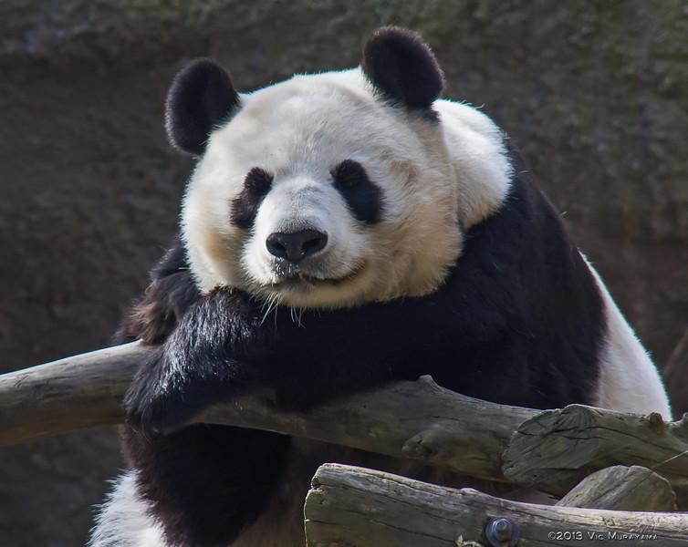 FEMALE GIANT PANDA BAI YUN