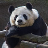 FEMALE GIANT PANDA BAI YUN