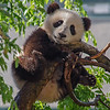 GIANT PANDA CUB<br /> 7 1/2 month-old male, Xiao Liwu