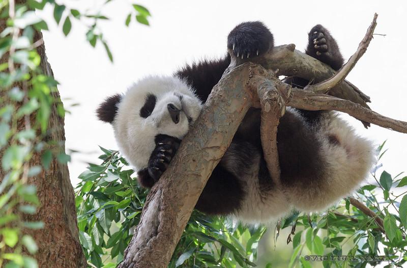 GIANT PANDA CUB<br /> 10 1/2 month-old male, Xiao Liwu