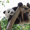 GIANT PANDA CUB<br /> 10 1/2 month-old male, Xiao Liwu