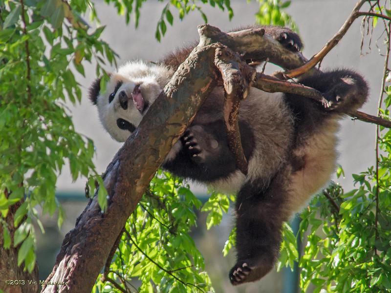 GIANT PANDA CUB<br /> 7 1/2 month-old male, Xiao Liwu