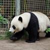 GIANT PANDA<br /> 2 year old cub Yun Zi.