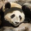 GIANT PANDA<br /> XIAO LIWU