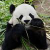 Gao Gao, an adult male Giant Panda.