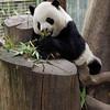 GIANT PANDA<br /> 20 year old male Gao Gao.