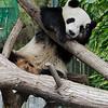 GIANT PANDA<br /> 2 year old male Zun Zi.