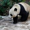 GIANT PANDA<br /> 2 yr-old cub Yun Zi enjoying some snow.