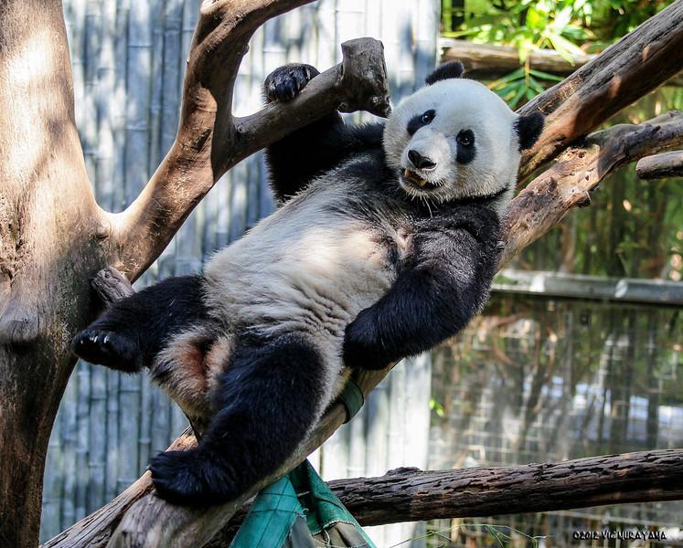 GIANT PANDA<br /> 3 year-old male Yun Zi