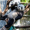 GIANT PANDA<br /> 3 year-old male Yun Zi