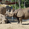 INDIAN RHINOCEROS<br /> male half brothers Surat and Soman.