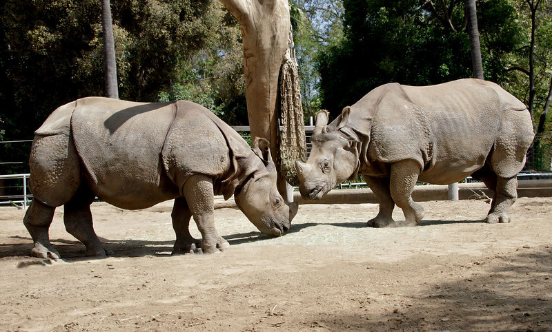 Indian Rhinoceros, males Surat and Soman.