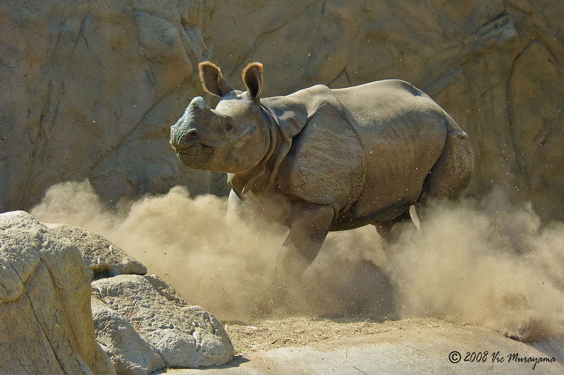Surat, a 2 year-old male Indian Rhinoceros