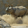 Surat, a 2 year-old male Indian Rhinoceros