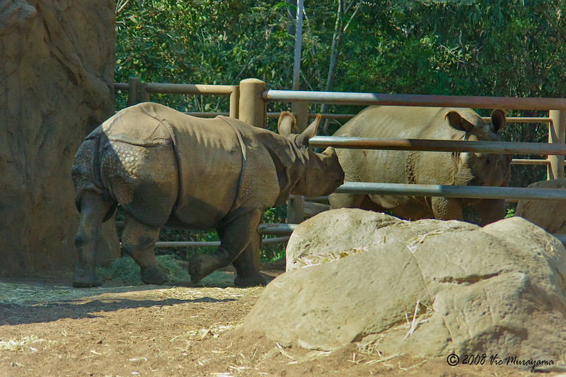 Surat, a 2 year-old male Indian Rhinoceros checking out Soman his 3 year-old half brother.