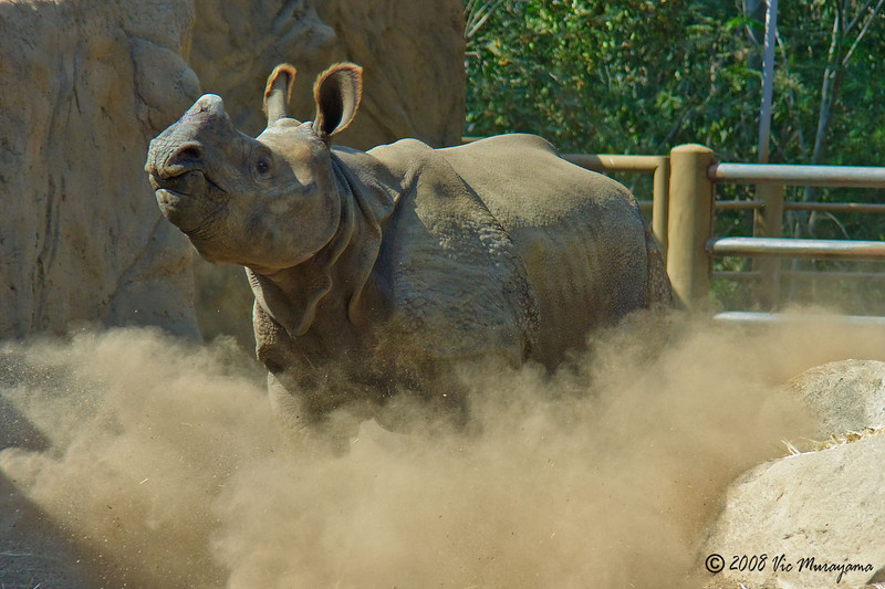 Surat, a 2 year-old male Indian Rhinoceros. He arrived from the Zoo's Wild Animal Park on 9/11/2008.