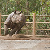 Day 2 for the 2 1/2 year-old male Indian Rhinoceros in his new home at the zoo.