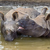 Juvenile male Indian Rhinoceros, Surat and Soman