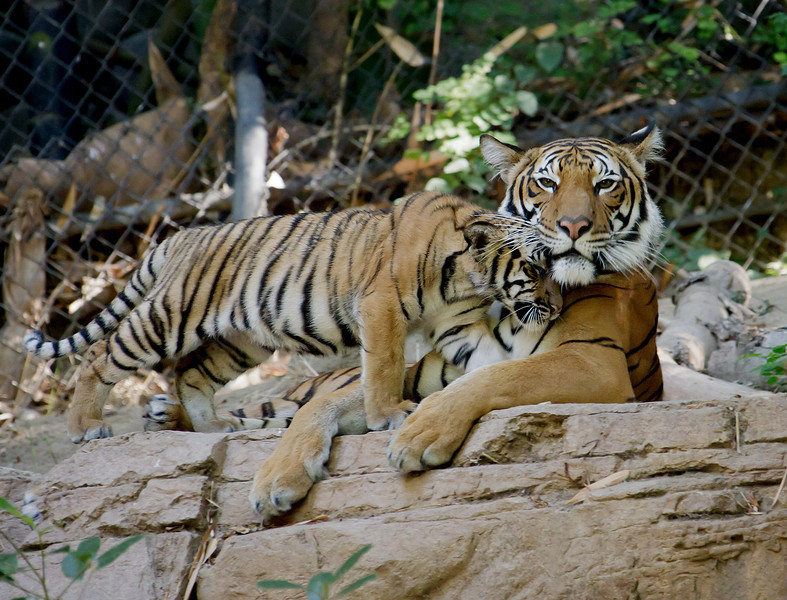 MALAYAN TIGER<br /> Mek and one of her 4 month old male cub born 4/1/2011.