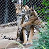 Mek, a female Malayan Tiger with one of her two, 3 month old male cubs