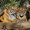 MALAYAN TIGER<br /> Mek and one of her two 8 month-old male cubs.