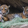 MALAYAN TIGER<br /> year-old male cubs