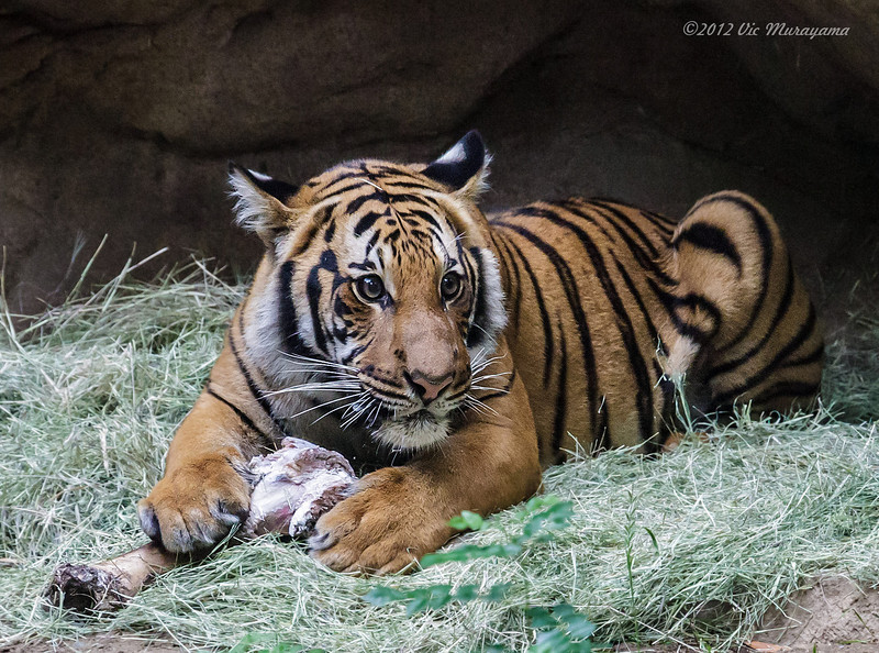 MALAYAN TIGER<br /> one of two year-old male cubs.