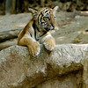 MALAYAN TIGER CUB<br /> 4 month male old born 4/1/2011.