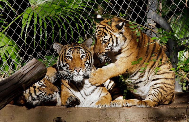 MALAYAN TIGER<br /> Mek and her two 8 month-old male cubs.