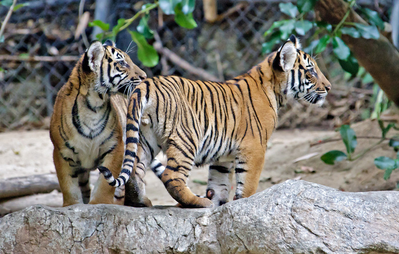 MALAYAN TIGER<br /> 4 month old male cubs.