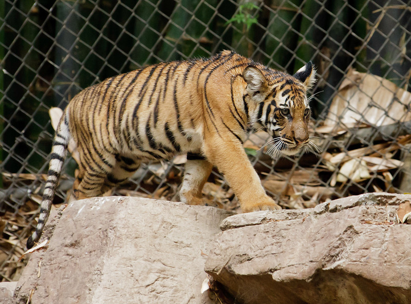 MALAYAN TIGER<br /> 4.7 month old male cub.