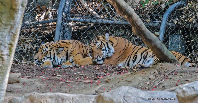 MALAYAN TIGER CUBS<br /> Males born April 2011.