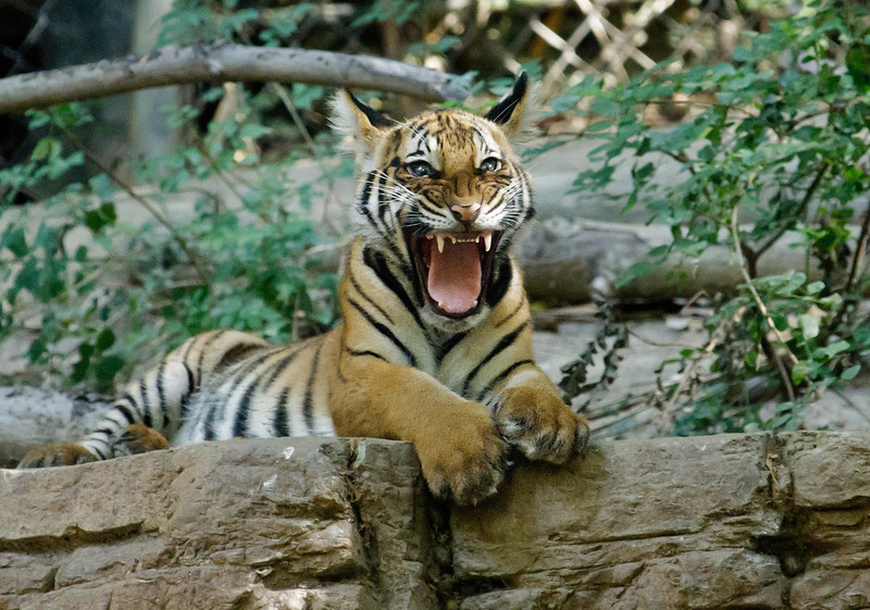 MALAYAN TIGER<br /> one of two male cubs.