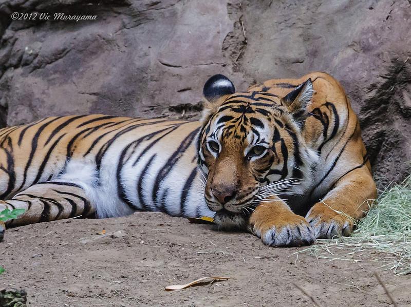 MALAYAN TIGER<br /> Mek, adult female