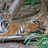 MALAYAN TIGER<br /> 4 month old male cubs with mom.