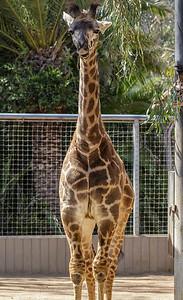 MASAI GIRAFFE CALF Obi, a male born 12/13/2015 to Nicky and Silver.