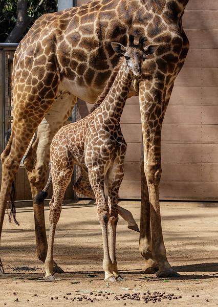 MASAI GIRAFFE CALF<br /> Male born 5/25/2016 to Harriett and Silver.