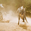 Playful male Grevy's Zebras