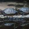 FLY RIVER TURTLES