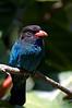 Dollarbird. San Diego zoo