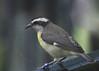 Yellow-rumped Tinkerbird, San Diego Zoo