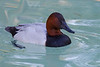 Canvasback  Duck, San Diego Zoo