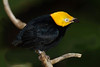 Golden-headed  Manakin, San Diego Zoo