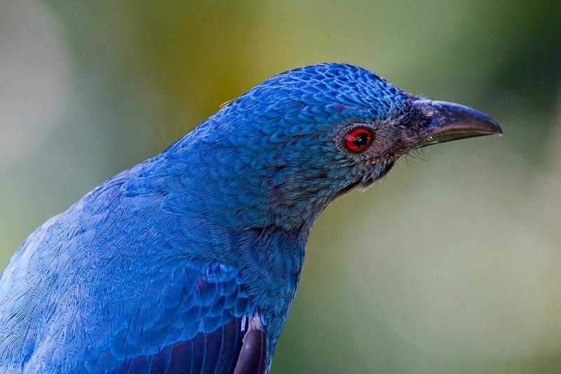 Asain Fairy Bluebird