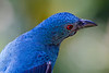 Asain Fairy Bluebird
