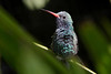 Broad-billed Hummingbird (Cynanthus latirostris), San Diego Zoo