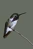 Coasta's Hummingbird